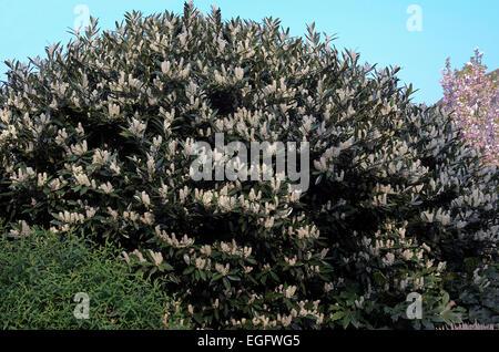 Prunus laurocerasus common laurel in flower - Stock Photo