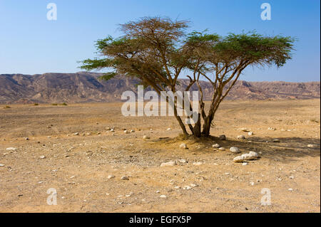 A lonely tree in the negev desert in Israel - Stock Photo