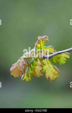 Oak Leaves Quercus robur Forest Of Dean; UK - Stock Photo