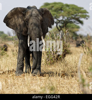 African elephant male with large tusks on the grasslands of the Tarangire National Park, Tanzania, East Africa. - Stock Photo