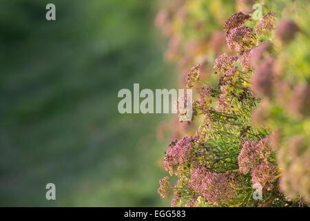 Rock Samphire; Crithmum maritimum Growing on a Wall Isles of Scilly; UK - Stock Photo