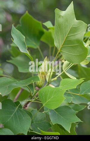 Tulip tree (Liriodendron tulipifera). - Stock Photo
