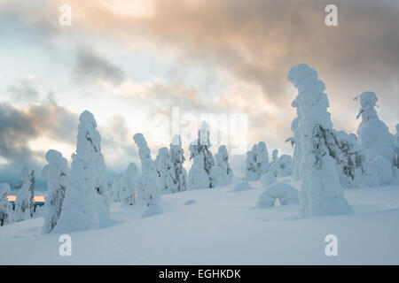 Snow-covered spruces, fjell in winter, Riisitunturi National Park, Posio, Lapland, Finland - Stock Photo