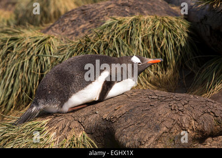 South Atlantic, South Georgia, Bay of Isles, Prion Island, Gentoo Penguin, Pygoscelis papua, resting on mound of - Stock Photo