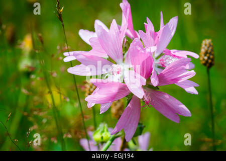 Malva (Malva moschata). - Stock Photo