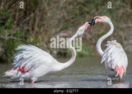 PARC ORNITOLOGIQUE DU PONT DE GAU, FRANCE - MAY 15, 2014: Pair of greater flamingoes (Phoenicopterus roseus). - Stock Photo