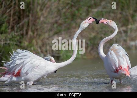PARC ORNITOLOGIQUE DU PONT DE GAU, FRANCE - MAY 15, 2014: Pair of greater flamingoes (Phoenicopterus roseus). - Stock Photo