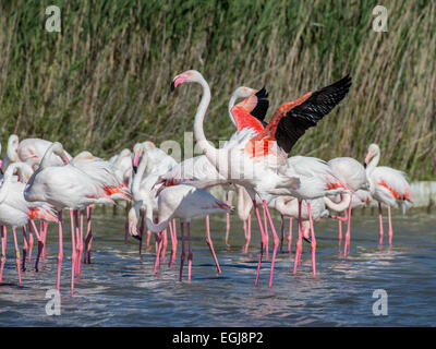 PARC ORNITOLOGIQUE DU PONT DE GAU, FRANCE - MAY 15, 2014: Group of greater flamingoes (Phoenicopterus roseus). - Stock Photo