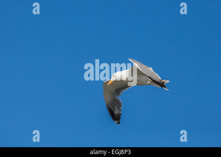 PARC ORNITOLOGIQUE DU PONT DE GAU, FRANCE - MAY 15, 2014: Flying  herring gull (Larus argentatus). - Stock Photo