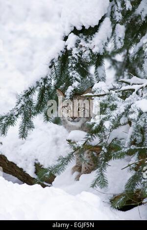 European lynx (Lynx lynx) in the snow) - Stock Photo