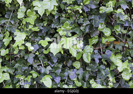 Background ivy on a wall, detail of a green plant on a wall in the city, wild fauna - Stock Photo