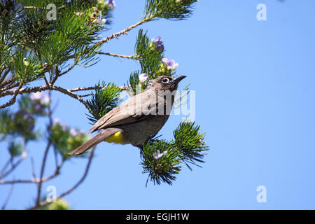 Cape bulbul perched in tree in South Africa - Stock Photo