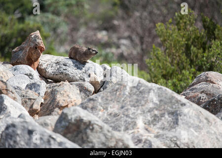 Rock dassie in South Africa - Stock Photo