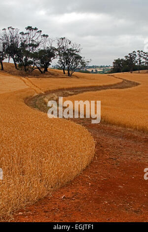 Winding Wheat Field Road in the Barossa Valley South Australia - Stock Photo