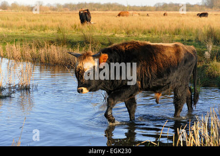 Heck Cattle (Bos primigenius f. taurus), breeding back programme, attempt to breed back the extinct aurochs - Stock Photo