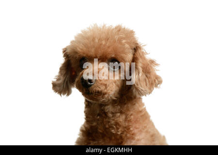 portrait of poodle staring forward, isolated on white - Stock Photo