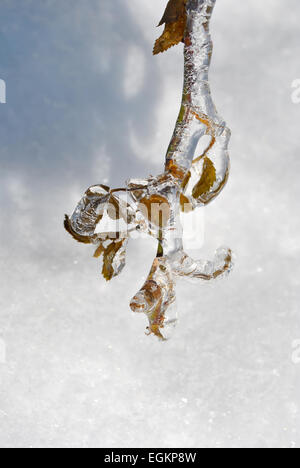 Icicles on twig after a winter freezing rain - Stock Photo