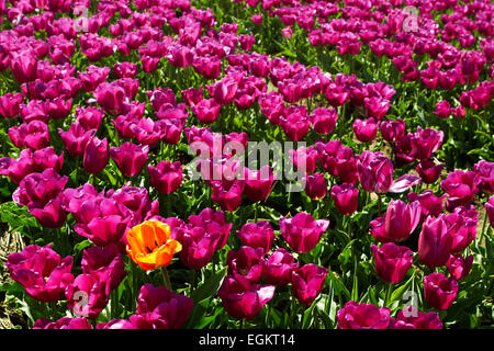 background of tulips field different colors in Holland One yellow orange tulip among violet ones bright sunny day - Stock Photo