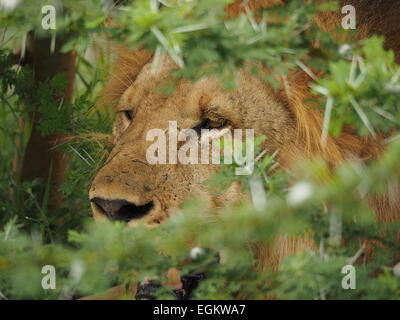 Large golden maned male lion (Panthera Leo) with facial scars in Selous Tanzania sitting in deep acacia thorn cover - Stock Photo