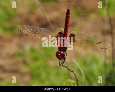 dark red dragonfly with gold veins at front edge of all wings and dark patches on hind wings in Selous Tanzania