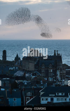 Aberystwyth, Wales, UK. 26th February, 2015. UK Weather: At the end of a cold clear afternoon, starlings fly in - Stock Photo