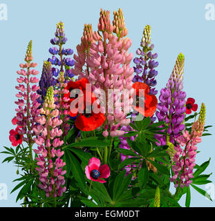 Bouquet of poppies and lupines on blue background (Lupinus polyphyllus), (Papaver rhoeas). square - Stock Photo
