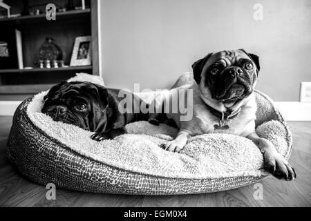 A couple of pugs resting in their bed. - Stock Photo