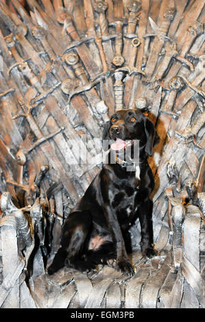 A black labrador (PSNI sniffer dog) sits on the Iron Throne on the film set of Game of Thrones, Belfast - Stock Photo