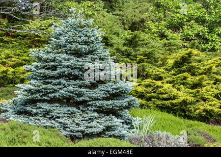 Perfectly formed ornamental blue spruce (Picea pungens glauca globosa)in a evergreen garden. - Stock Photo