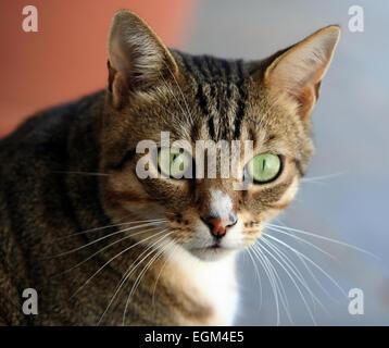Domestic cat  (Felis silvestris catus). - Stock Photo