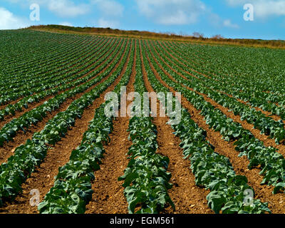 Rows of plants growing in straight lines in a field on an arable farm in summer Cornwall south west England UK