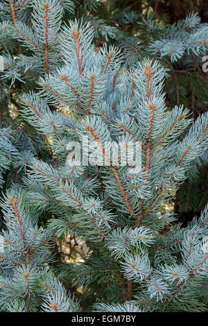 """Blue spruce (Picea pungens """"Iseli Fastigate""""). - Stock Photo"""