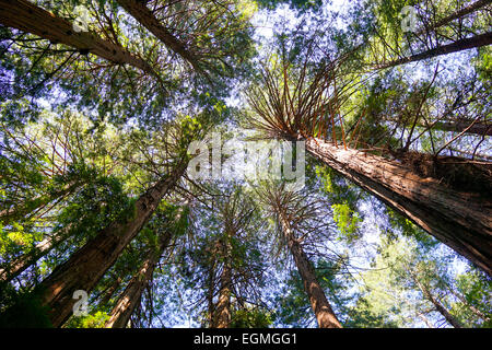 Sunshine in a large redwood forest canopy in northern California, Muir Woods, San Francisco.