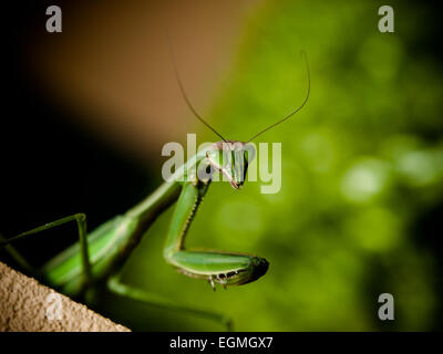 Praying Mantis - Stock Photo