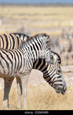 Burchell's zebra (Equus burchelli), with a young foal covered with mud, in dry grass, Etosha National Park, Namibia, - Stock Photo
