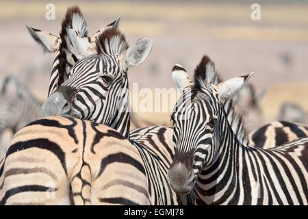 Two young Burchell's zebras (Equus burchelli), Etosha National Park, Namibia, Africa - Stock Photo