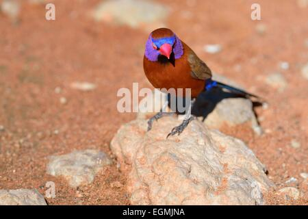 Violet-eared Waxbill (Uraeginthus granatina), male, standing on a stone, Kgalagadi Transfrontier Park,Northern Cape,South - Stock Photo