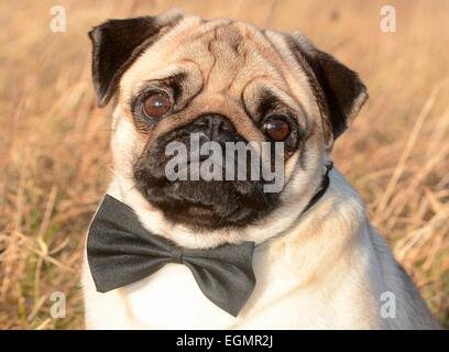Pug with bow tie among dry grass, Sweden - Stock Photo