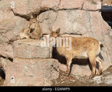 East Caucasian tur or Daghestan tur (Capra caucasica cylindricornis) - Stock Photo