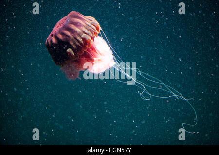 Impressive jellyfish swimming underwater with dark blue background - Stock Photo