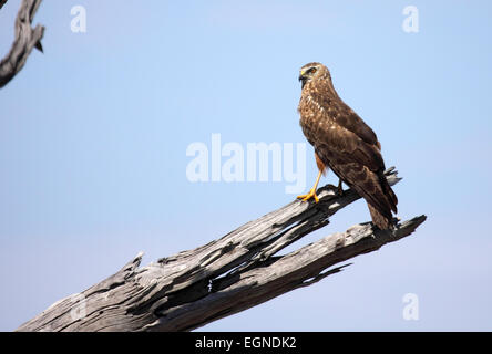 African marsh harrier perched on dead branch of tree in Botswana - Stock Photo