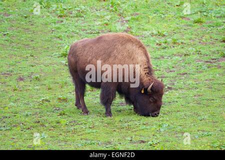 Bison in Golden Gate Park, San Francisco, California - Stock Photo