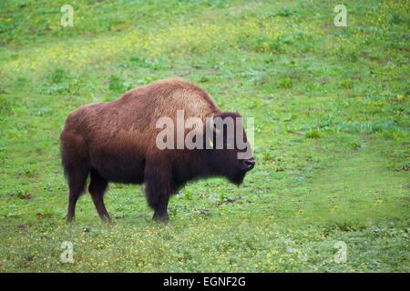 Bison in Golden Gate Park, San Francisco, California - Stock Photo