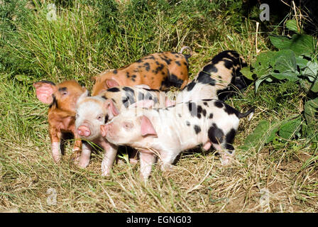 Piglet(Sus scrofa domestica) on a organic farm ecological wales UK GB europe - Stock Photo