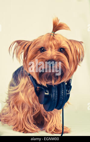 Cute yorkshire terrier in headphones portrait sits on grey background and looking at camera - Stock Photo