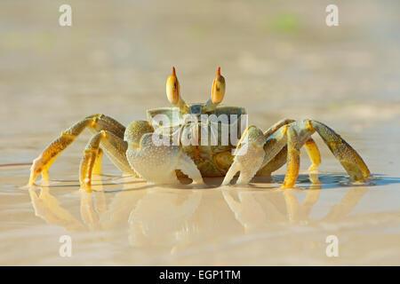 Alert ghost crab on the beach, Zanzibar island, Tanzania - Stock Photo
