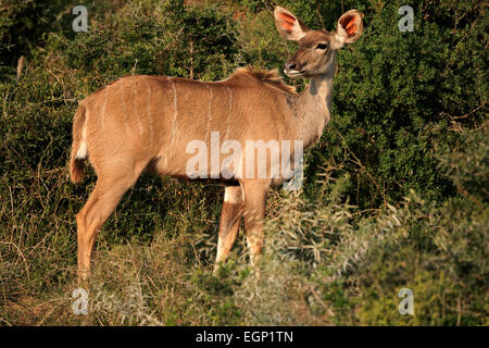 Female kudu antelope (Tragelaphus strepsiceros) in natural habitat, South Africa - Stock Photo