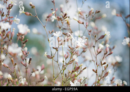 Campion, Lychnis flos-jovis. Side view of many slender stems with white flowers and pink calyxes against pale blue - Stock Photo