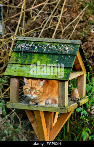 Ginger adult domestic cat sitting on bird table in garden. Photo; George Sweeney / Alamy - Stock Photo