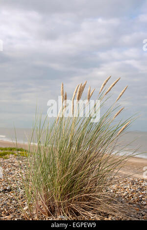 Grass, Marram grass, Ammophila arenaria, Flowering clump growing in shingle on a suffolk beach in UK, Sea and sky - Stock Photo